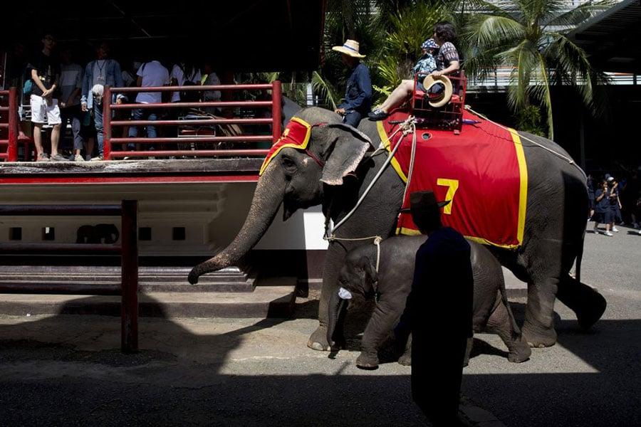 隨著泰國旅遊業的興起,越來越多的大象被訓練為「表演者」及供遊客騎乘,但也事故頻發。圖為2017年8月2日,泰國芭提雅Nongnooch公園的遊客在騎乘大象。(Brent Lewin/Getty Images)