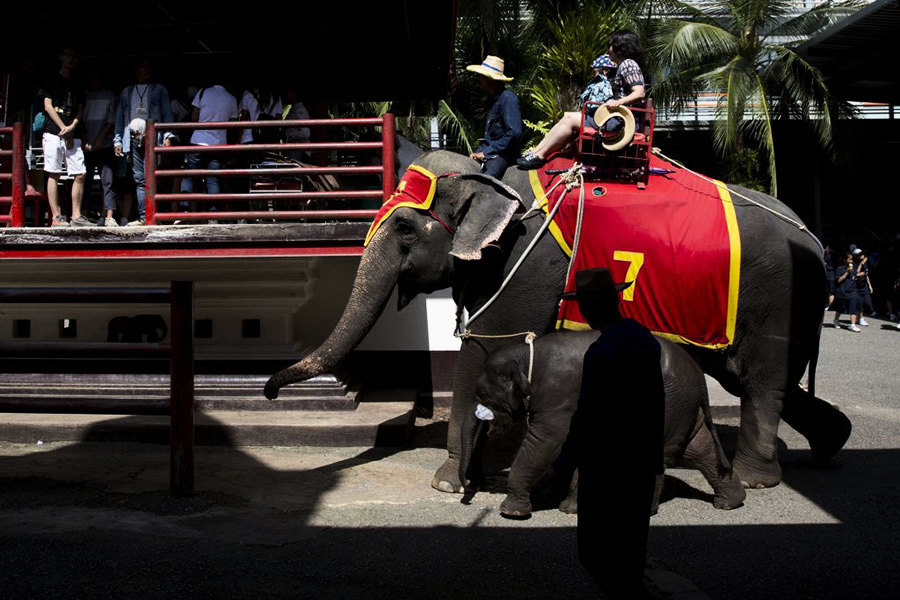 泰國大象踩死領隊 象背上的夫婦講述細節