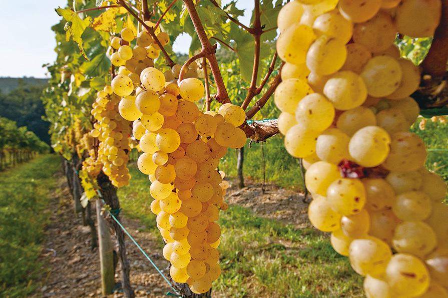 弗留利的葡萄園出產的葡萄晶瑩剔透,因此釀出的酒特別甘甜。(意大利旅遊局提供)