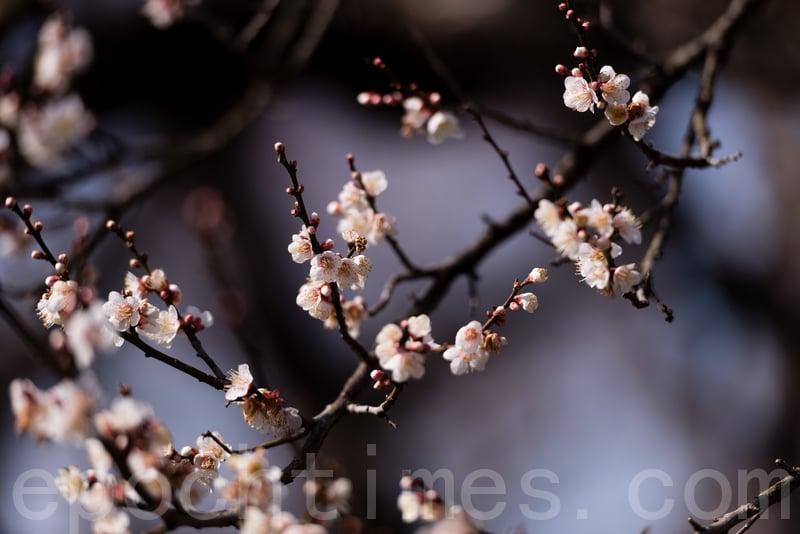 位於日本茨城縣的偕樂園是日本關東地區著名的觀賞梅花的名勝,每年的2月下旬到3月下旬都會舉辦盛大的賞梅慶典。花期各異,園內100種以上、3,000多株梅花綻放,疏影橫斜、暗香襲來。從各地前來觀賞梅花的遊客絡繹不絕。(遊沛然/大紀元)