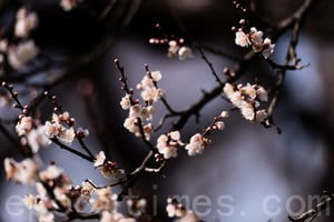 【節氣典故】小寒風信報梅開 臘祭百神
