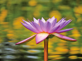 一朵朵升起的蓮花