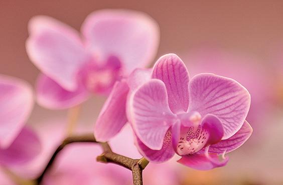 蝴蝶蘭。(余鋼/大紀元)