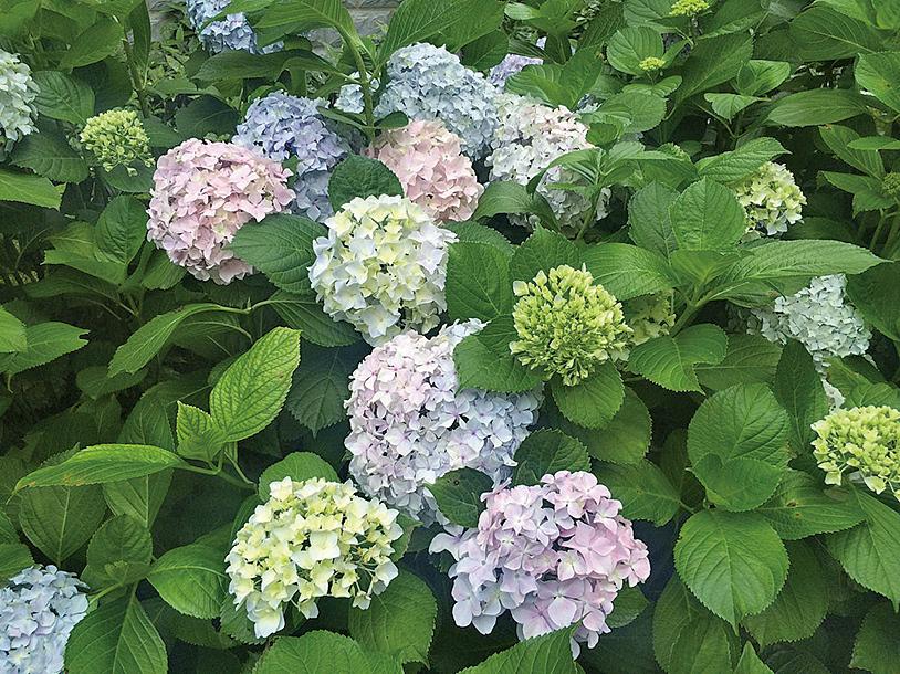 繡球花。(維基百科)