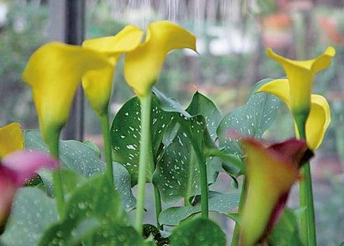 黃色馬蹄蘭。(維基百科)
