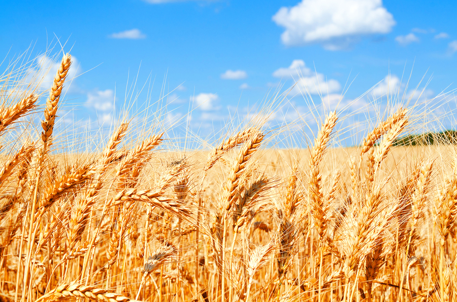 小麥可以當做藥用