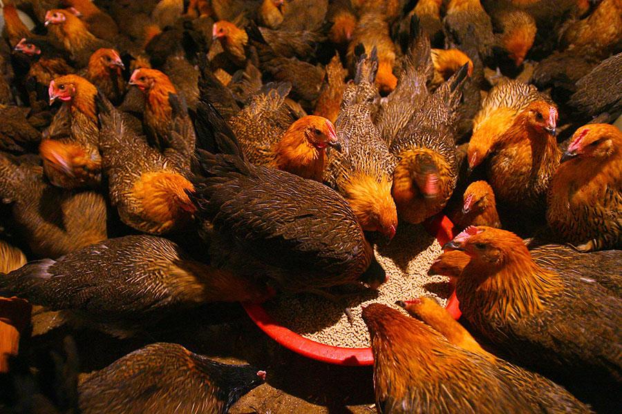 圖為寧波一個雞隻批發市場中售賣的活雞,正在食用飼料。(China Photos/Getty Images)