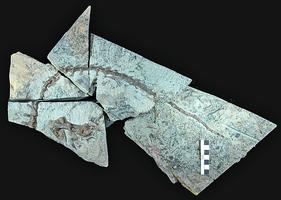 澳洲發現火雞大小食草恐龍