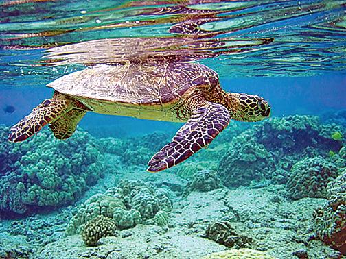 綠海龜。(維基百科)