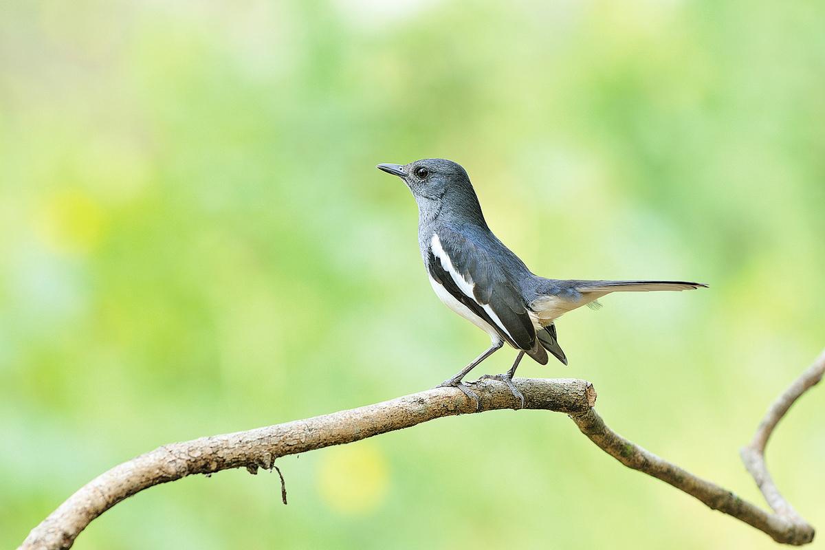 鳥(喜鵲),泰國(shutterstock)