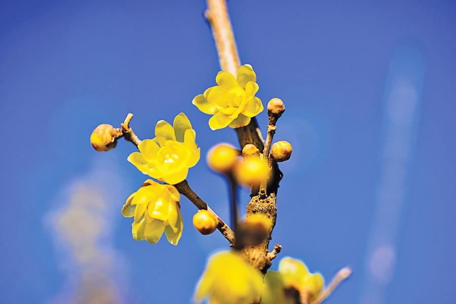 蠟梅迎春 愈冷愈開花