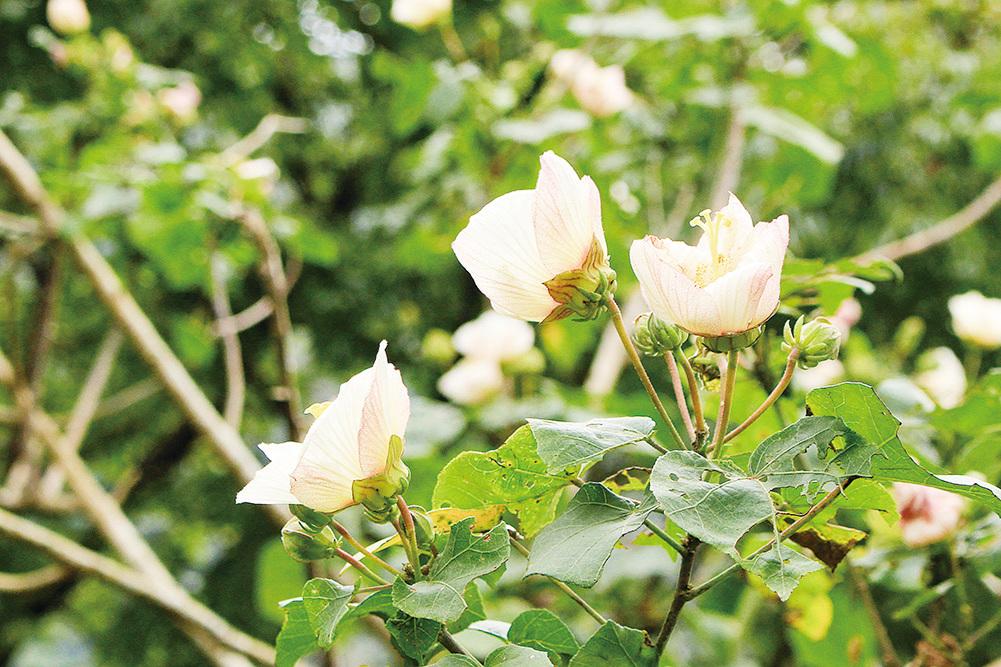 山芙蓉被稱為千面美人。(台北市政府公園大地科)