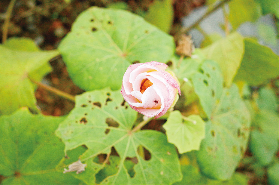 山芙蓉早、中、晚各有不同的形態,所以從花色深淺和花瓣姿態,可以判斷拍照時間。(台北市政府 公園大地科)