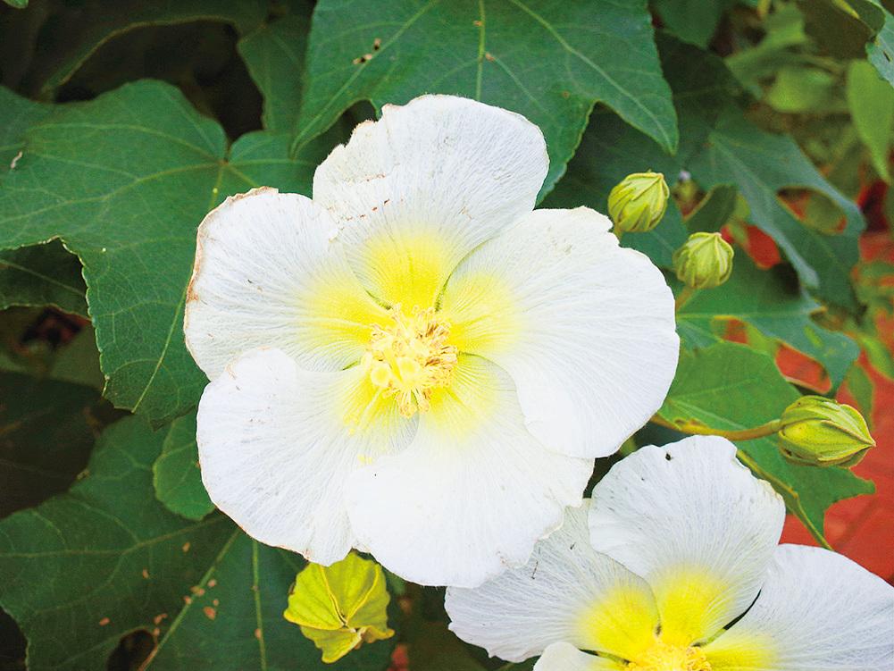 清晨初開,山芙蓉花朵嬌嫩白皙。(台北市政府公園大地科)