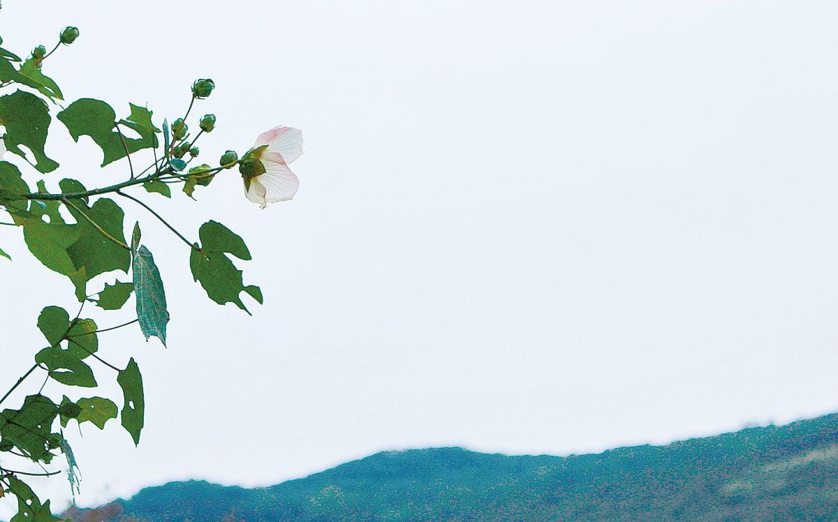 日照充足處,可見到山芙蓉的身影。(台北市政府公園大地科)