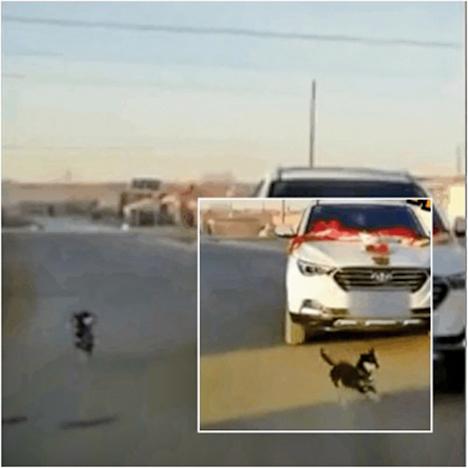 甘肅女出嫁  愛犬不捨緊追主人婚車