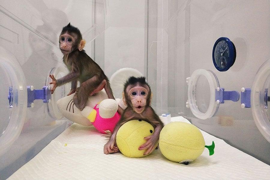 中共科學院上海分院造出了兩隻複製的長尾彌猴。(大紀元資料室)