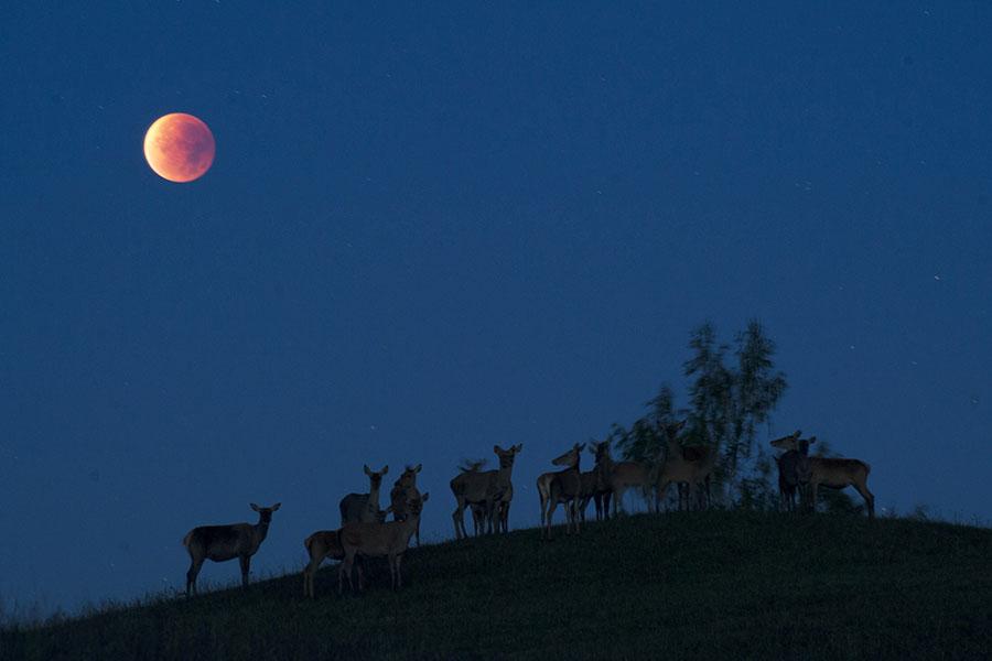 以色列拉比費雪(Yekutiel Fish)說,1月31日將出現的「超級藍血月」,對阿拉伯國家而言是不祥的預兆。圖為2015年9月28日在白俄羅斯所拍攝到的月蝕。(SERGEI GAPON/AFP/Getty Images)