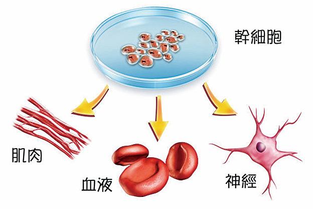 美國食品和藥物管理局(FDA)最近批准了一種自動化生物反應器,能夠在幾天時間裏生產出數十億的幹細胞。(Shutterstock)