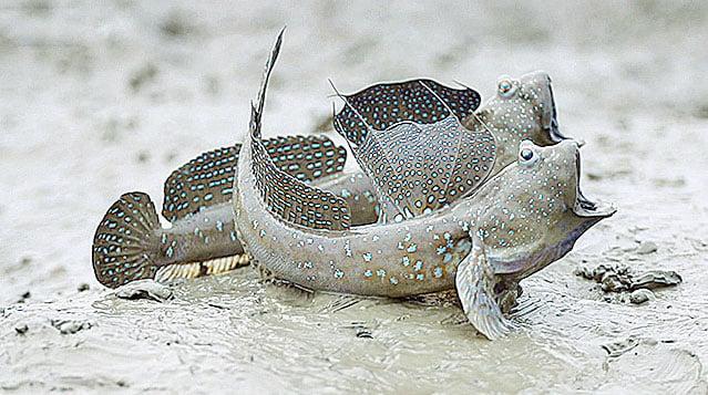 新安郡擁有世界五大灘塗之一。圖為灘塗上的彈塗魚。