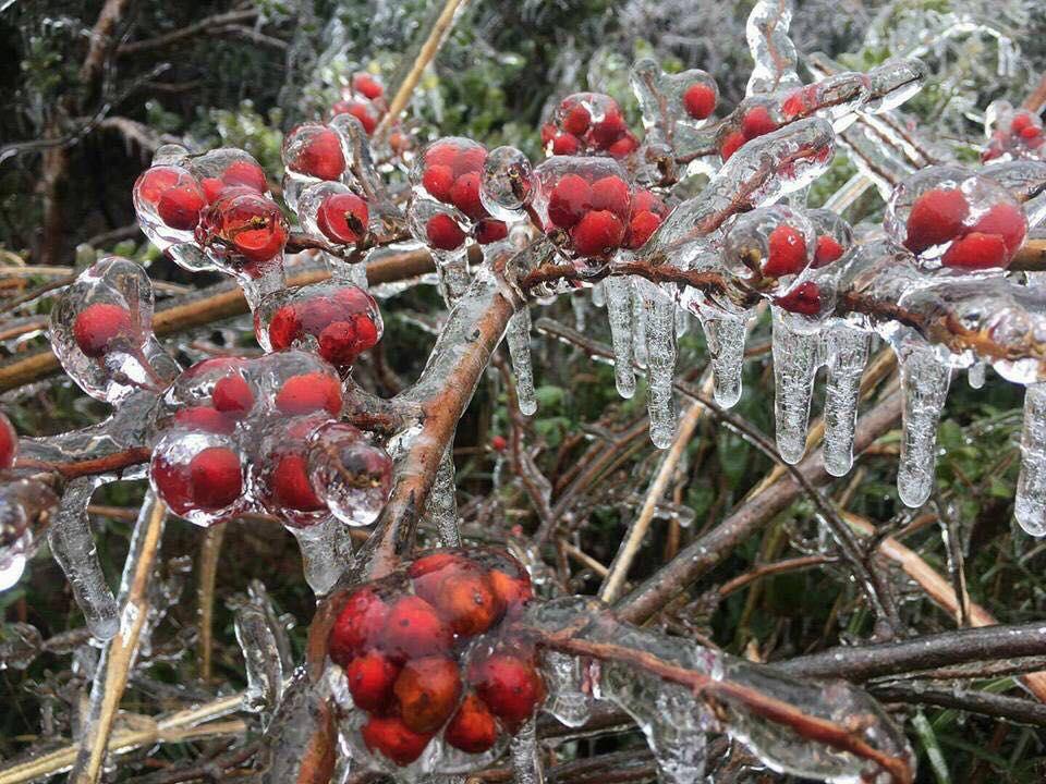 寶蓮禪寺日前在其官方Facebook專頁上,貼出一張據稱在2月1日拍攝的相片,相中的植物被冰封,並稱「今年香港冬季真的有點冷」。(寶蓮禪寺Facebook專頁)