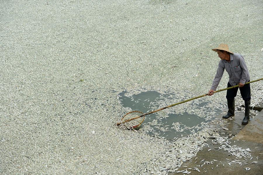 由於工廠排污,水中氨濃度嚴重超標,湖北省府河武漢段出現大面積死魚。圖為2013年9月3日,一名居民在府河邊清理死魚。(STR/AFP/Getty Images)