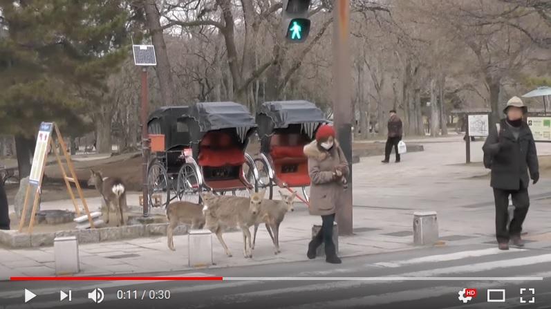 奈良的鹿在等綠燈過馬路。(視像擷圖)