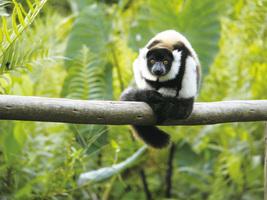馬達加斯加遊記(一)聽狐猴在唱歌