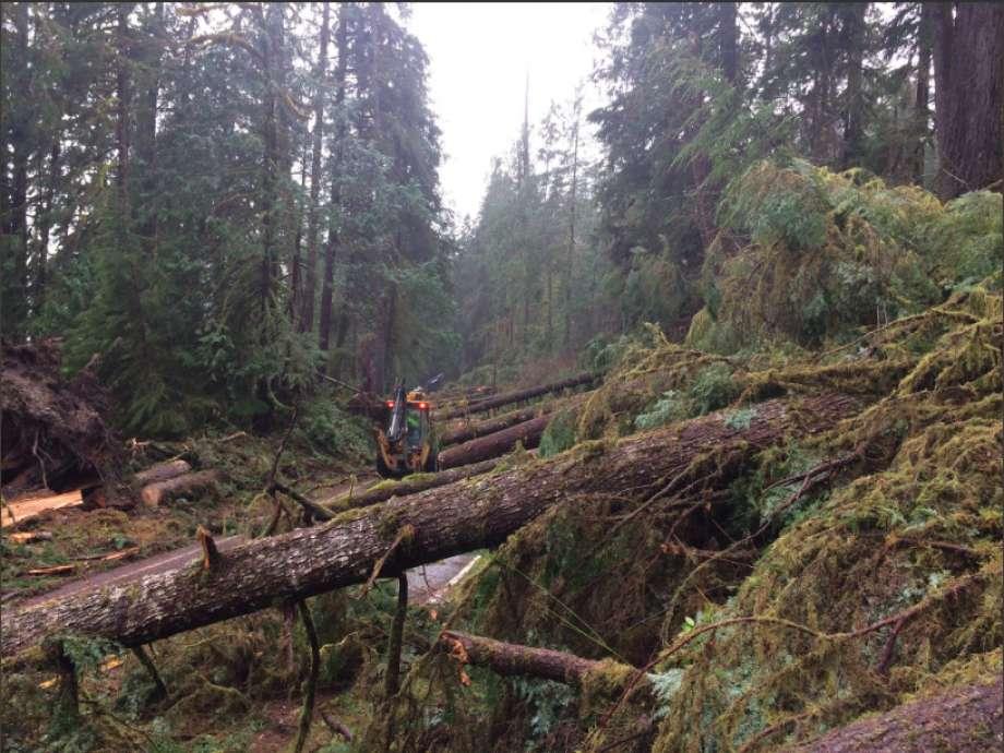 美國奧林匹克國家公園的100多棵樹被風吹倒,原因尚不清楚。(Olympic National Park)