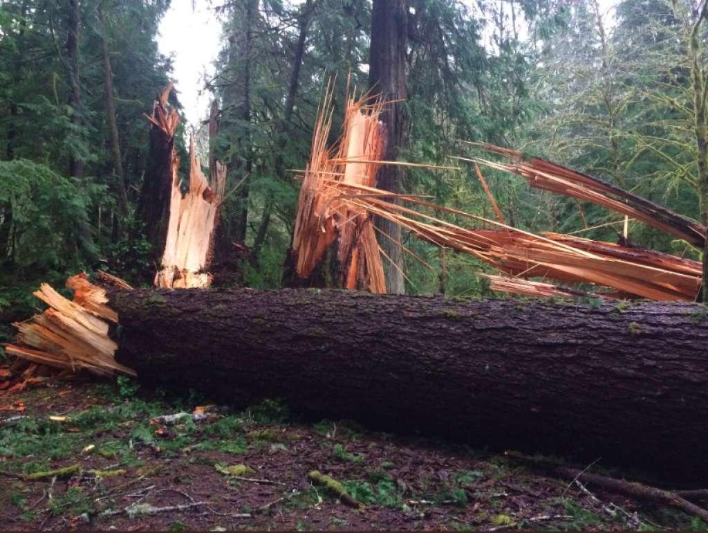 有些樹木從底部被折斷。(Olympic National Park)