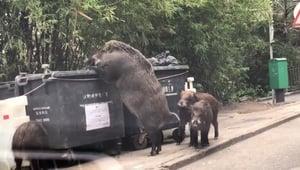 「野豬王」翻垃圾桶覓食 體型巨大
