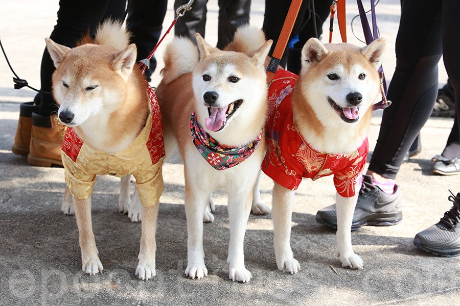 適逢狗年,最搶鏡的當屬三隻穿上中國新年服裝的柴犬,由盧氏家庭帶來現場。其中左邊身穿黃衣和紅衣的狗姐妹,命名為「大紅」和「大紫」取個好兆頭。(陳仲明/大紀元)