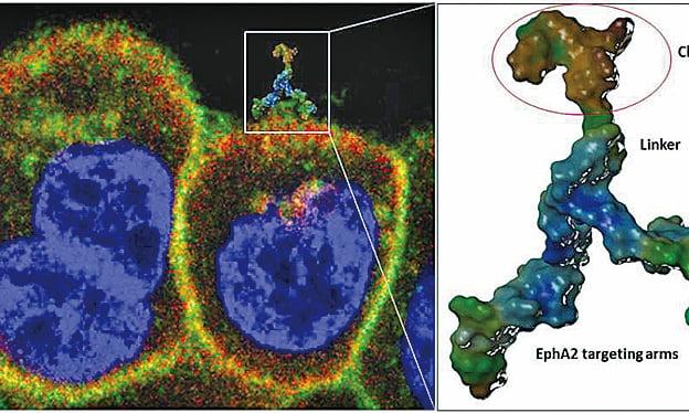 化療藥物紫杉醇連載在123B9上後可靶向攻擊遷移或循環中的腫瘤細胞,抑制腫瘤轉移。(Pellecchia lab, UC Riverside)
