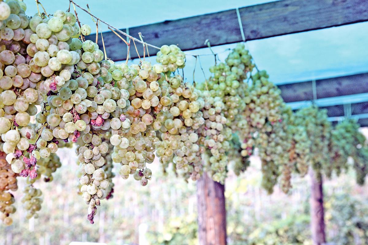 意大利Campania酒區的釀酒葡萄Falanghina