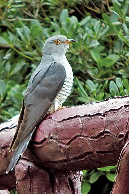 布穀鳥又名大杜鵑。(志達/大紀元)