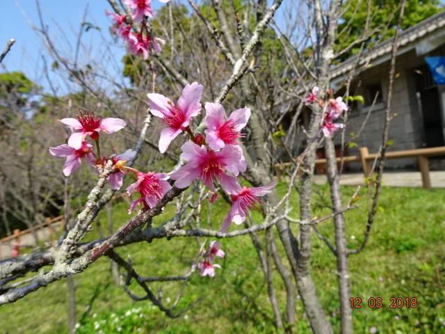 在大帽山觀景台Facebook群組中,多位網友分享了在扶輪公園一帶拍攝的櫻花相片。(Wai Chung/大帽山觀景台Facebook群組)