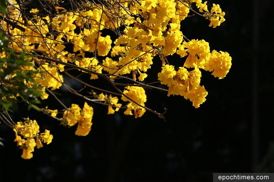 深水埗通州街公園的黃花風鈴木近日盛開。(陳仲明/大紀元)