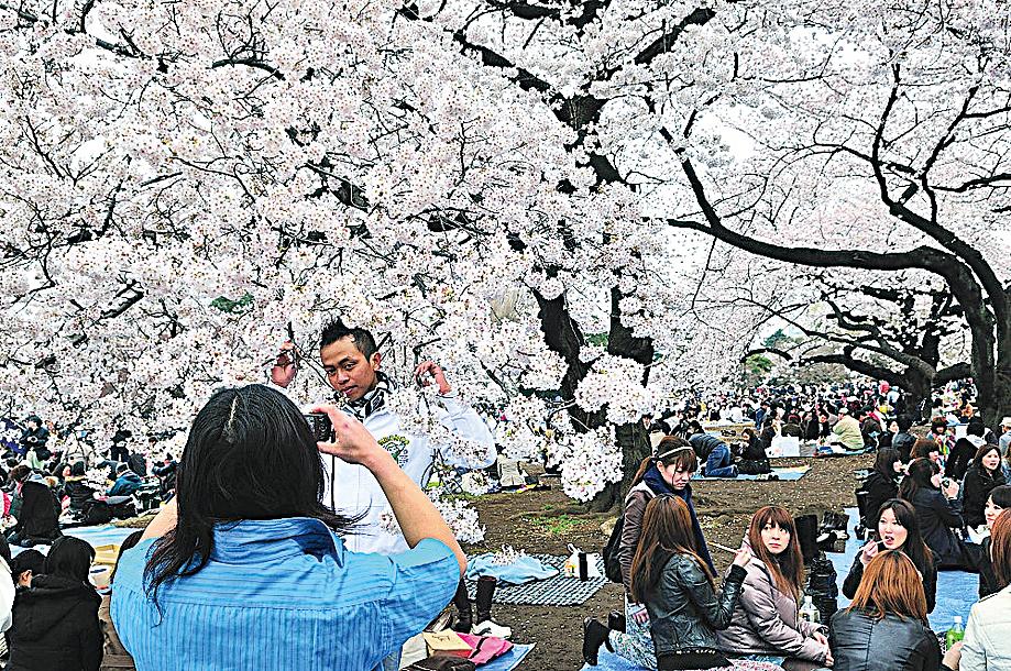 日本賞櫻時節,人們會聚集在著名的賞櫻勝地,三五成群席地而坐。