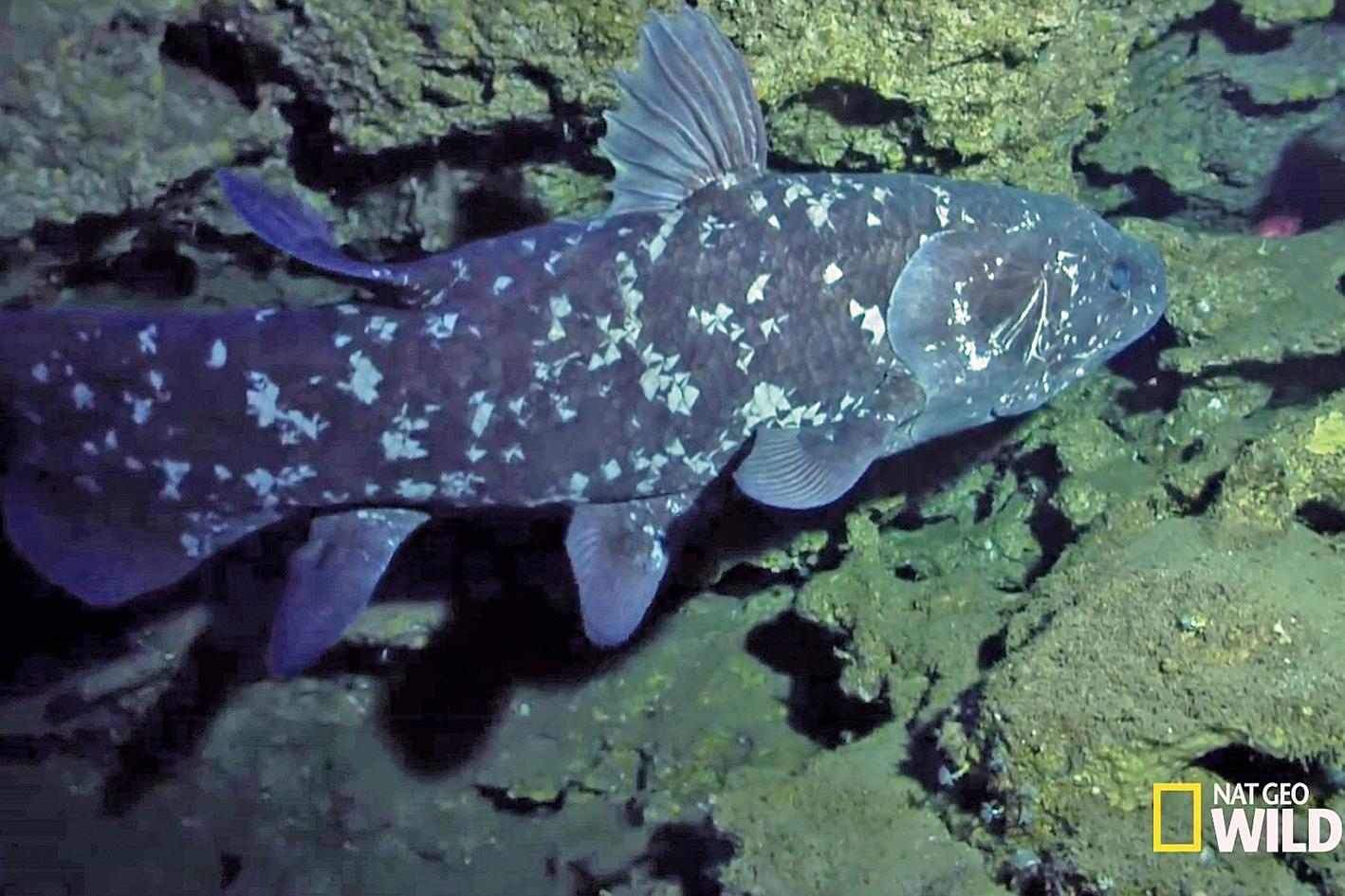 腔棘魚生活了3億多年,未發生變化。(《國家地理》視頻截圖)
