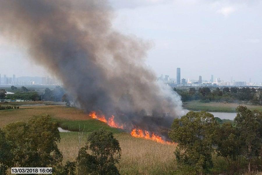 3月12至13日,南生圍疑被人縱火,位於核心區內的大片蘆葦和不少樹木被焚燒。(環保觸覺提供)