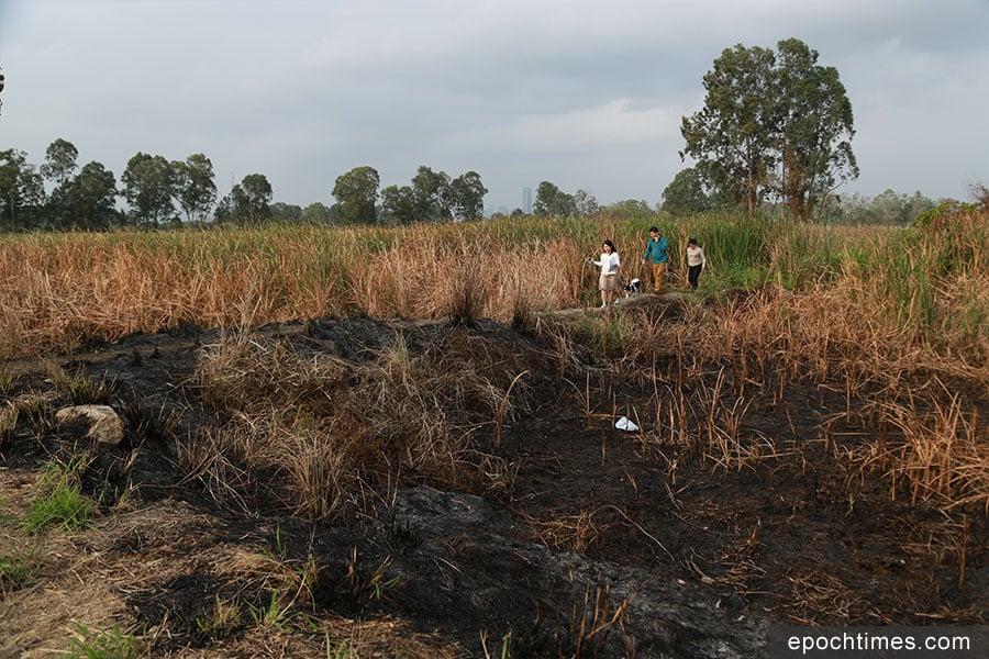 3月12至13日,南生圍疑被人縱火,位於核心區內的大片蘆葦和不少樹木被焚毁。(陳仲明/大紀元)