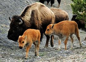 北美野牛成美國「國獸」