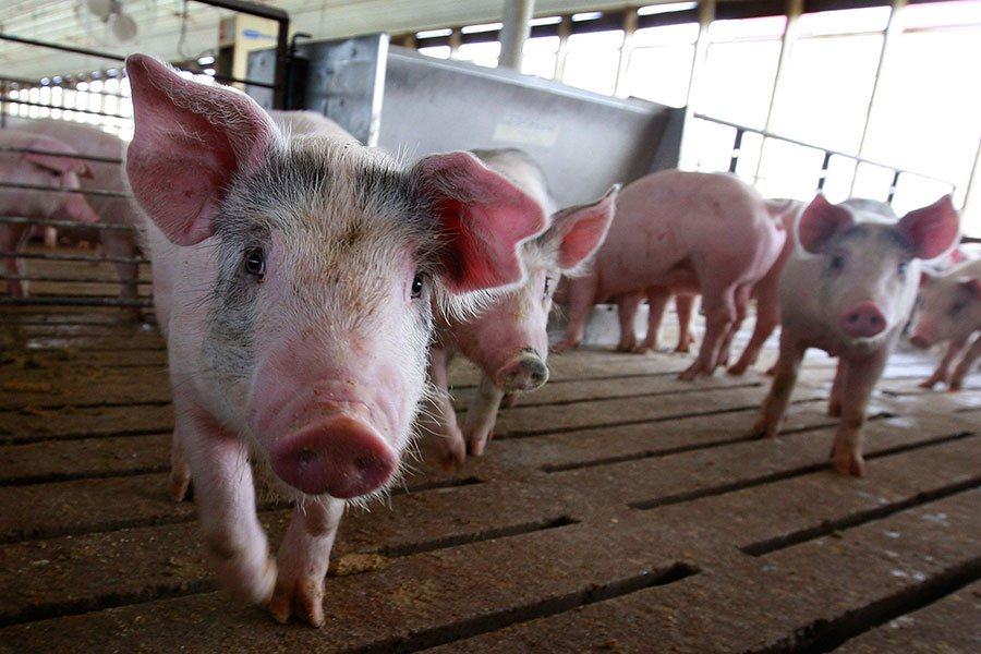 中國公司之所以看中史密斯菲爾德,是因為在北卡養豬比在中國便宜50%,這裏的豬飼料價格更便宜、農場更大。9 Scott Olson/Getty Images)