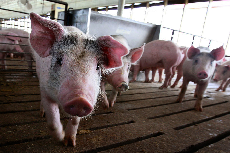 美北卡成中共廉價養豬場 居民遭豬糞荼毒