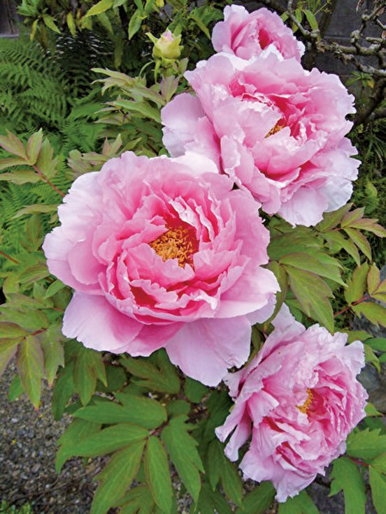 粉色牡丹 (公有領域)
