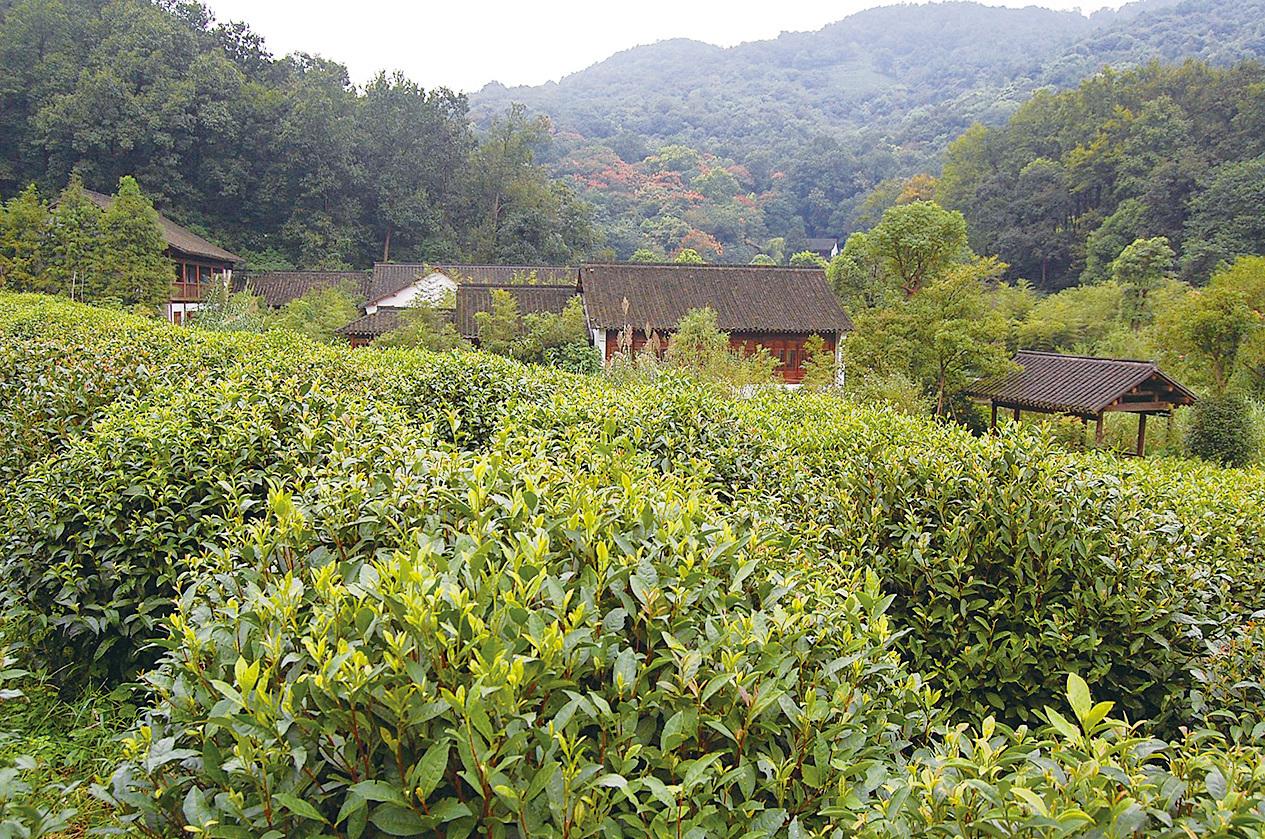 龍井茶園。