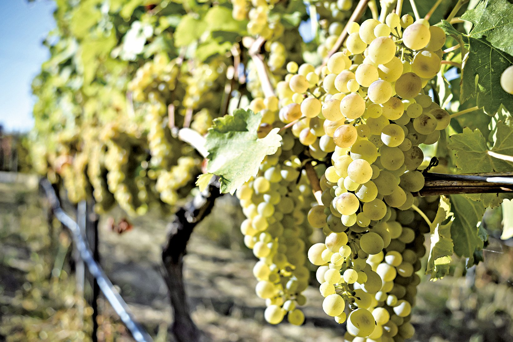 結實纍纍的葡萄,是酒莊所有工作人員的辛苦成果。