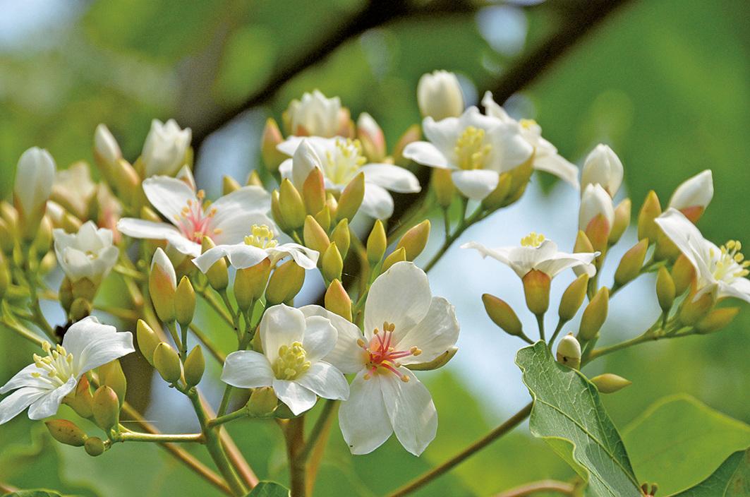 桐花繽紛,三月節--清明時節萬物欣欣向榮。(中央社)