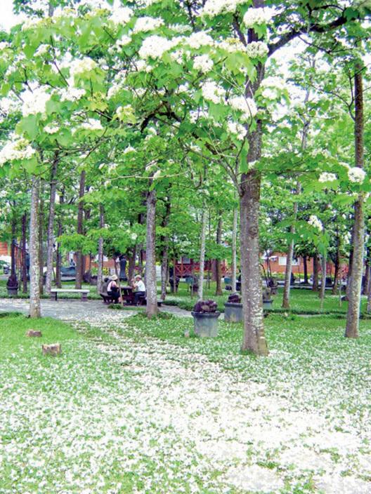 桐花盛開如雪。(牛耳藝術渡假村提供)