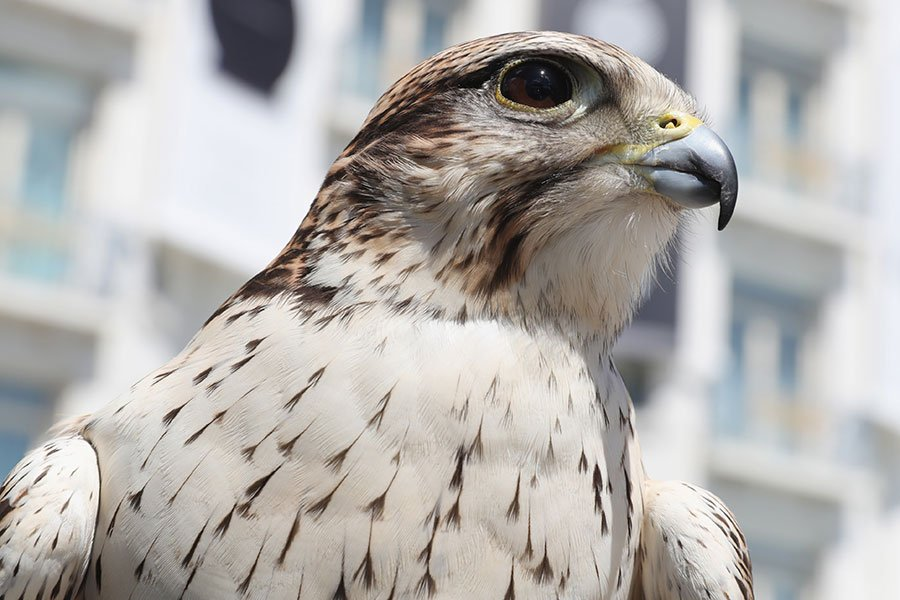 獵鷹是候鳥。它們從俄羅斯飛到西藏,然後穿過青海高原、浩瀚沙漠和新疆高山飛回北方。(Neilson Barnard/Getty Images)